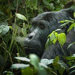 """""""gorillas in the mist"""""""