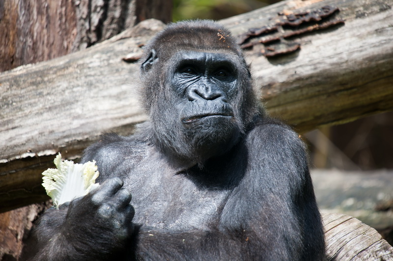 Gorilla(Silberrücken)Zoo Wuppertal