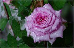 Gotas de lluvia sobre mi Rosa