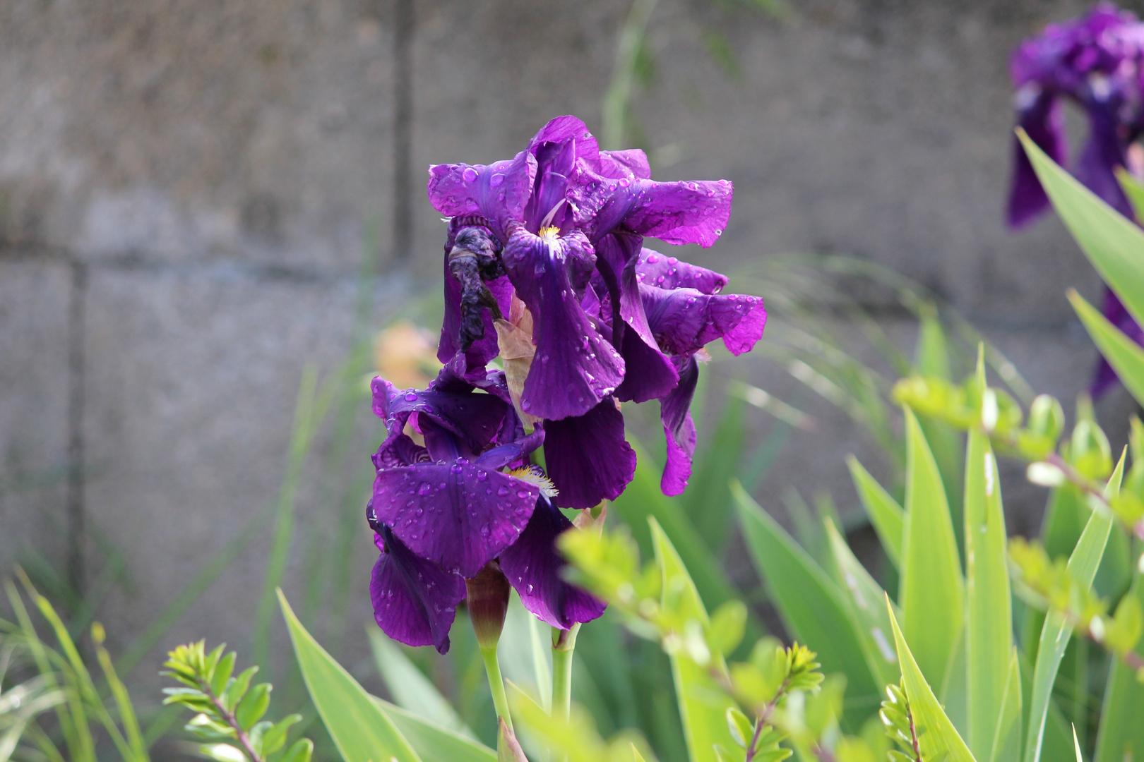 Gotas de rocío en la flor
