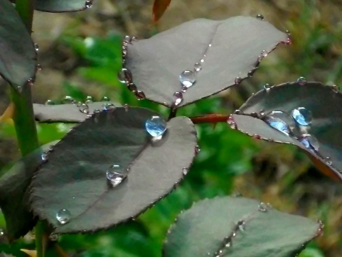 Gotas en el Rosal