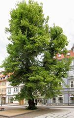 Gotha, die prächtige Klosterplatzlinde
