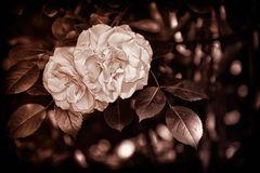 Gotik Rose