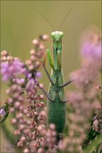 gottesanbeterin ( Mantis religiosa ) 04/13