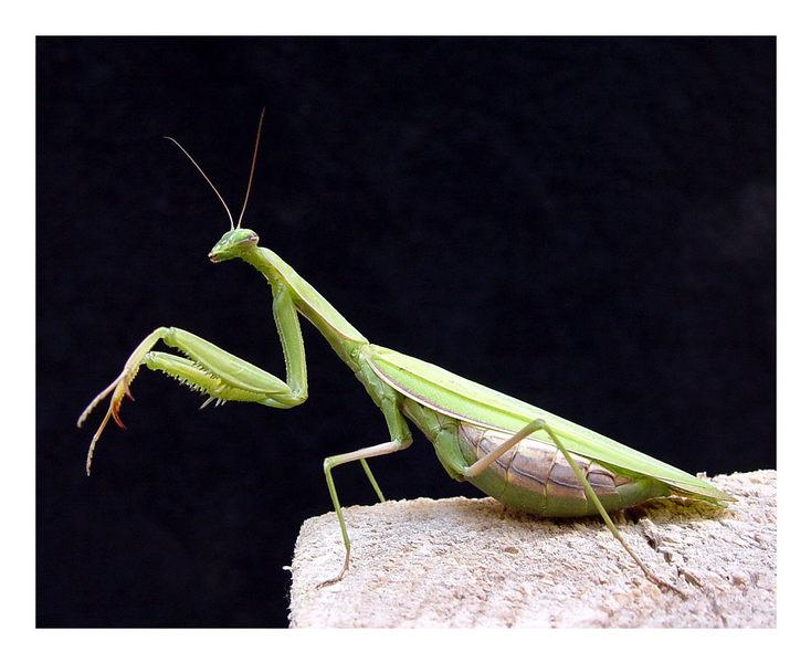 Gottesanbeterin (mantis religiosa)