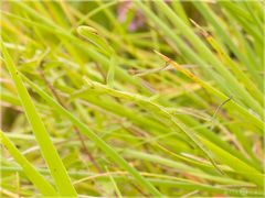 Gottesanbeterin - Mantis religiosa