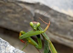 Gottesanbeterin (Mantis religiosa): Fitness und Körperpflege! Foto 5 - La mante religieuse.