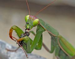 Gottesanbeterin (Mantis religiosa): Genüsslich Fressen! Foto 4 - Que c'est bon!