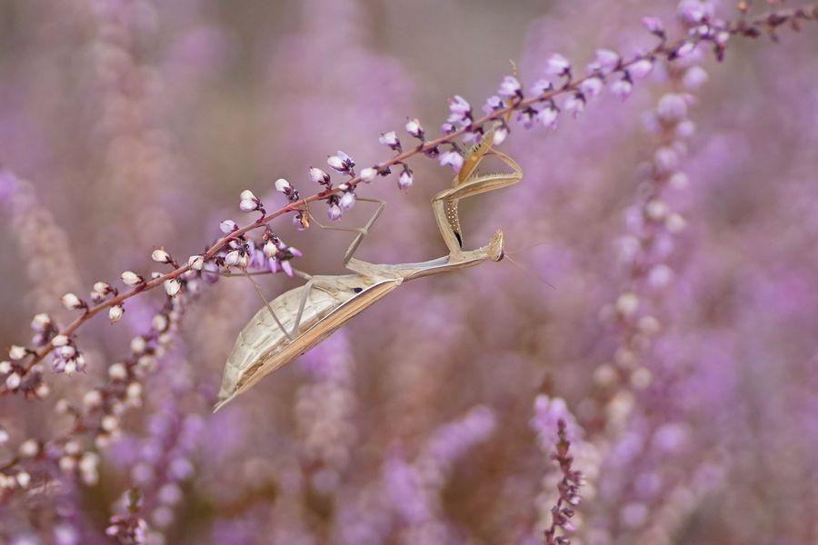 Gottesanbeterin (Mantis religiosa), Weibchen der braunen Farbvariante