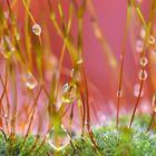 Gouttelettes de pluie sur la mousse