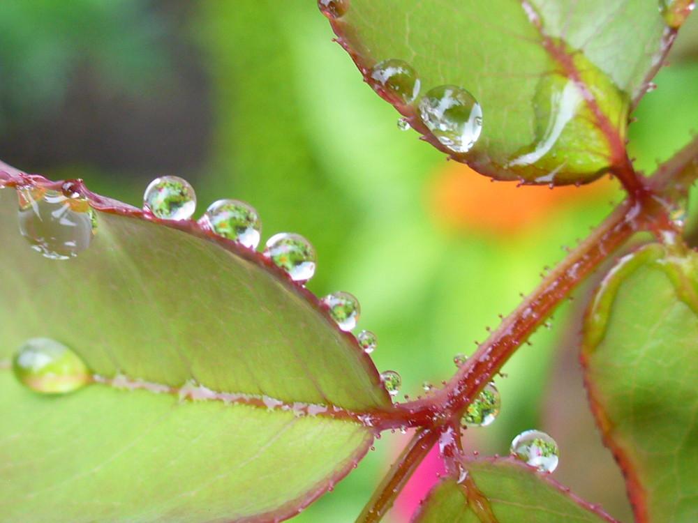 gouttes de rosée sur feuilles de roses