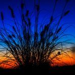 Gräser am Abend