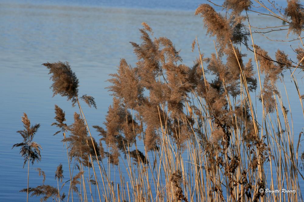 Gräser am Seeufer