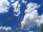 Gräser am Sommerhimmel