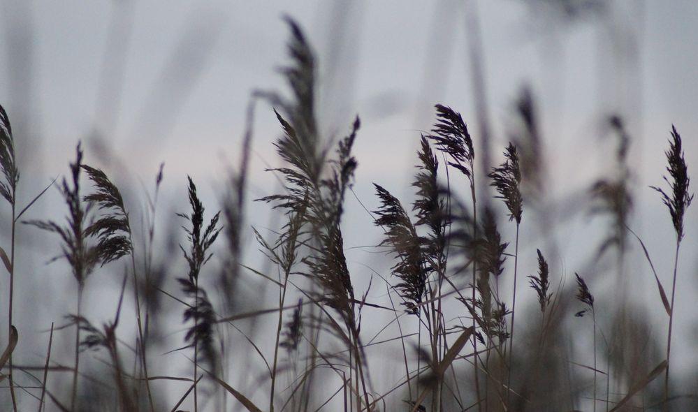 Gräser an der Elbe