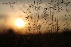 Gräser bei Sonnenaufgang 1