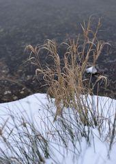 Gräser im Februar