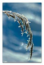 Gräser im Frostkleid