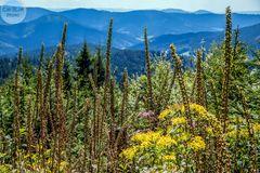 Gräser im Mittelschwarzwald