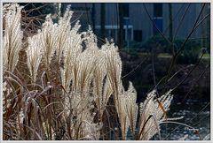 Gräser im Winter -