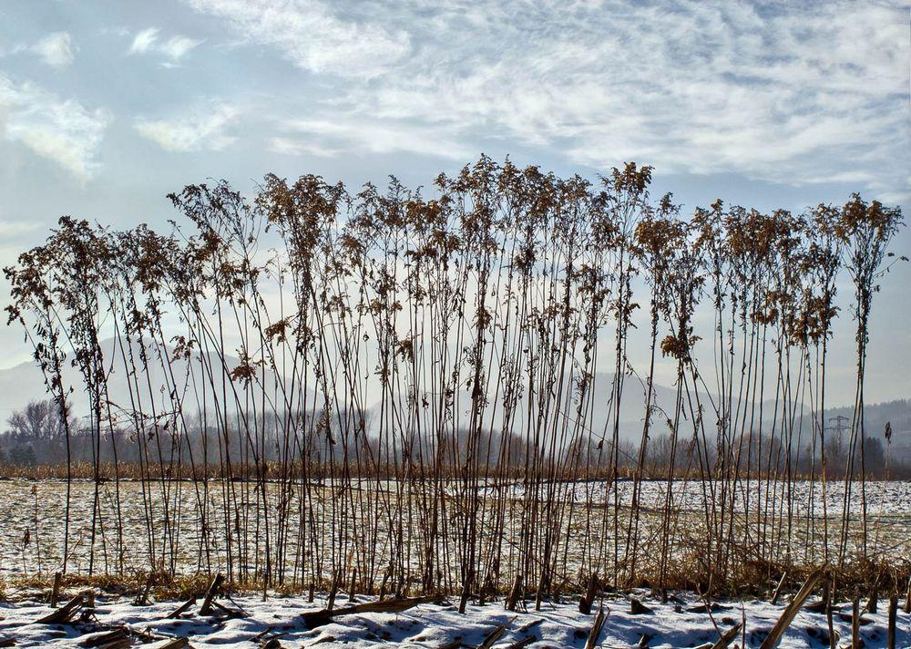 Gräser in der winterlichen Gratweiner Au!