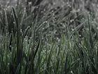 Gräser mit Morgenreif