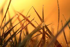 Gräser mit Morgentau bei Sonnenaufgang