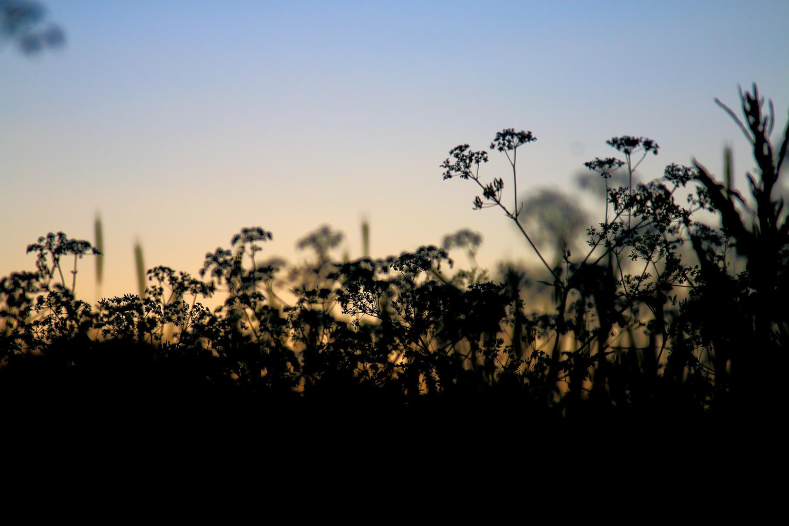 Gräser nach dem Sonnenuntergang