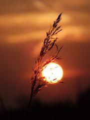 Gräserblüte im Sonnenuntergang