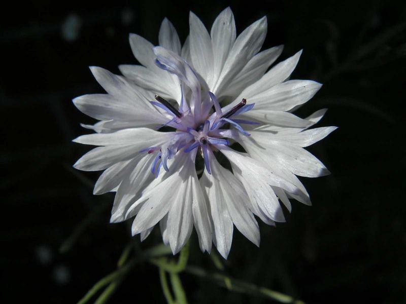 Grain flower
