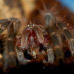 Grammostola Aureostriata Spiderling...