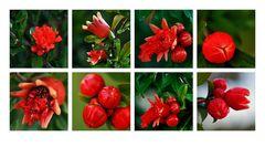 Granatapfel-Blüten