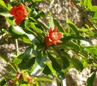 granatapfelbaumblüten