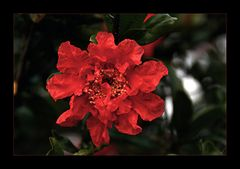 * Granatapfelblüte *