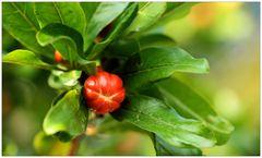 Granatapfelblüten-Knospe