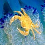 Granchietto sui tentacoli di una medusa