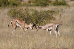Grand Antilope