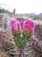 Grand Canyon Cacti