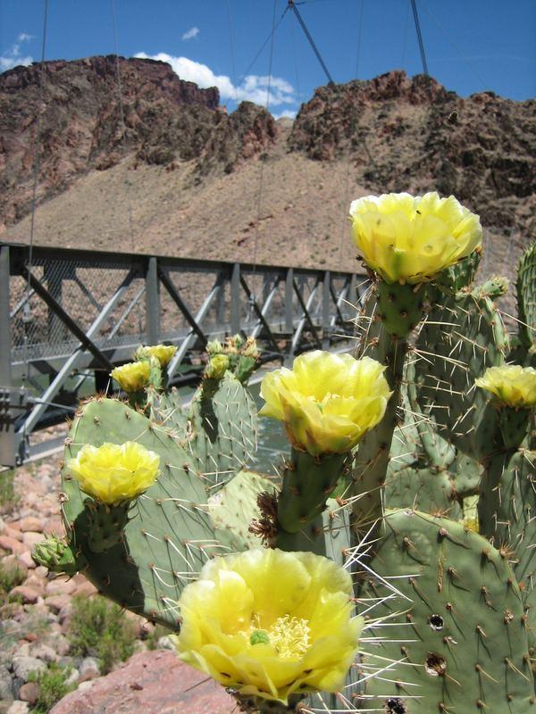 Grand Canyon Yellow Cacti