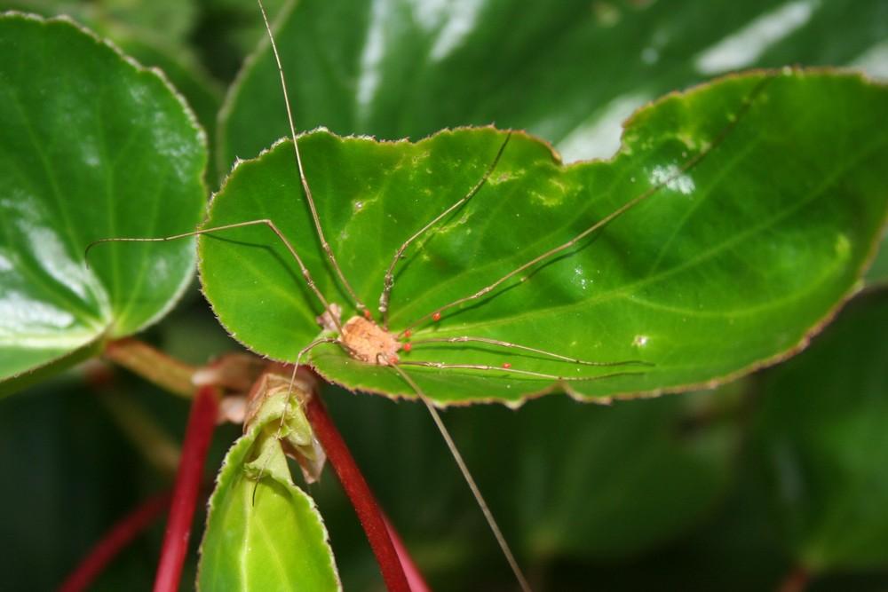 Grandaddy Long Legs on Begonia