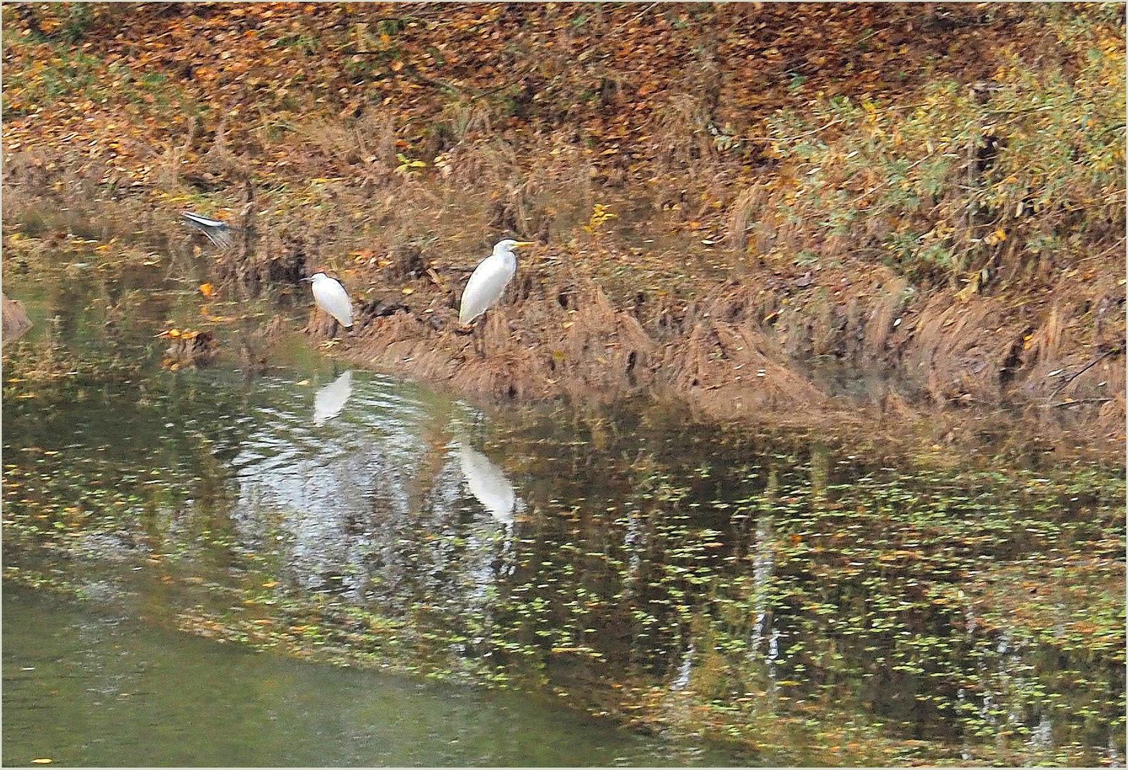 Grande aigrette et aigrette garzette en bord de Garonne