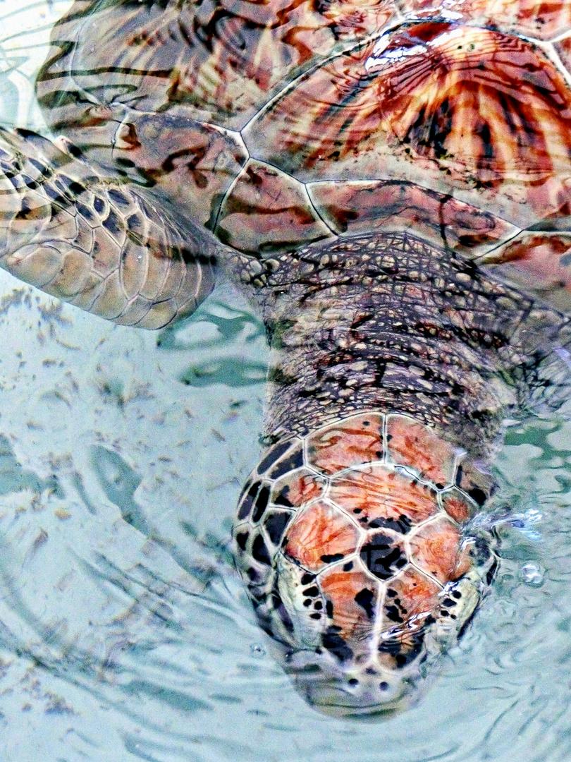 grande tortue