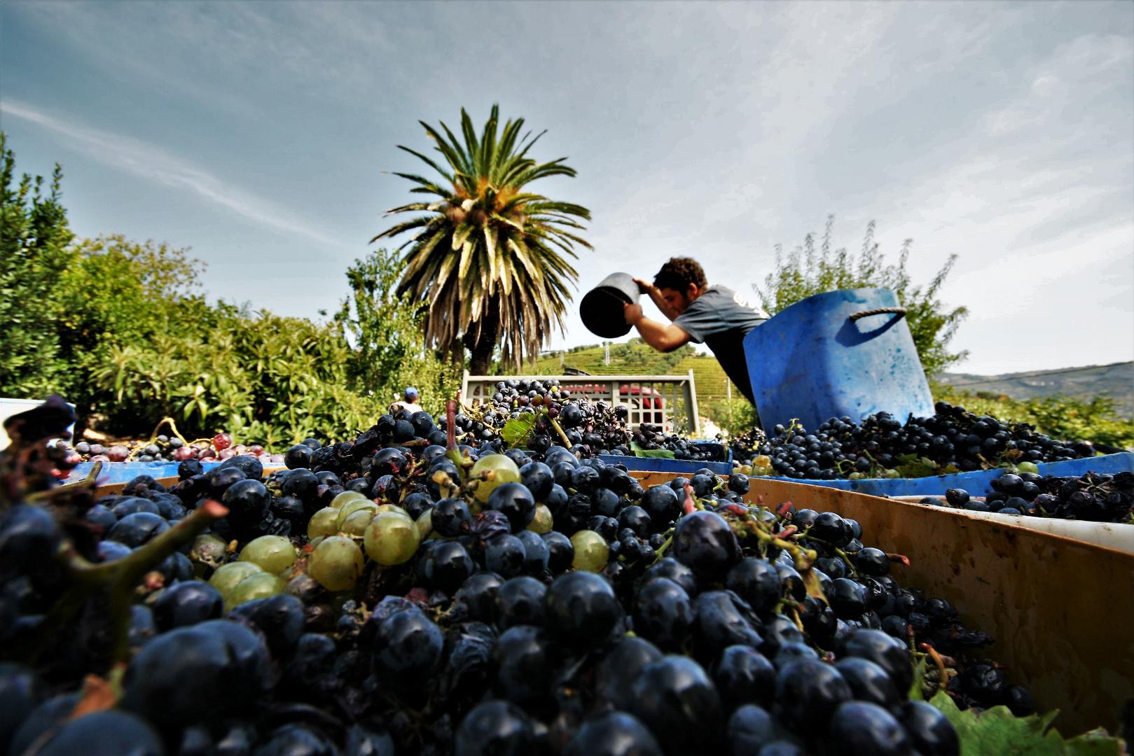 Grape harvest  5