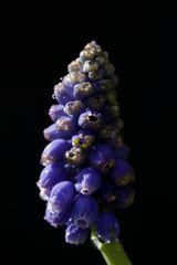 Grape hyacinth (muscari)