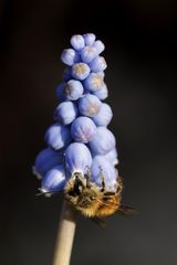 Grape hyacinth with a bee