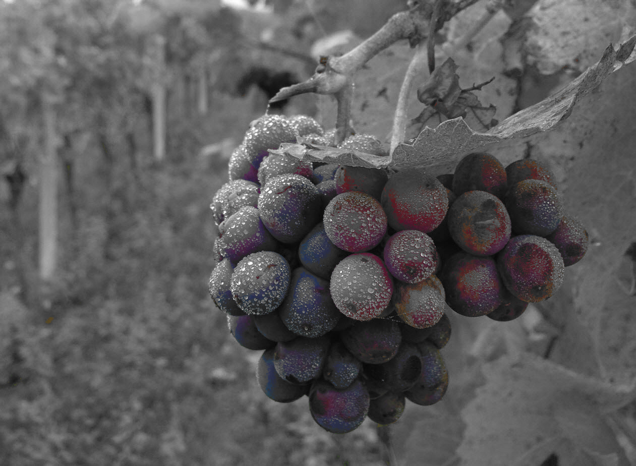Grapevine Experiment