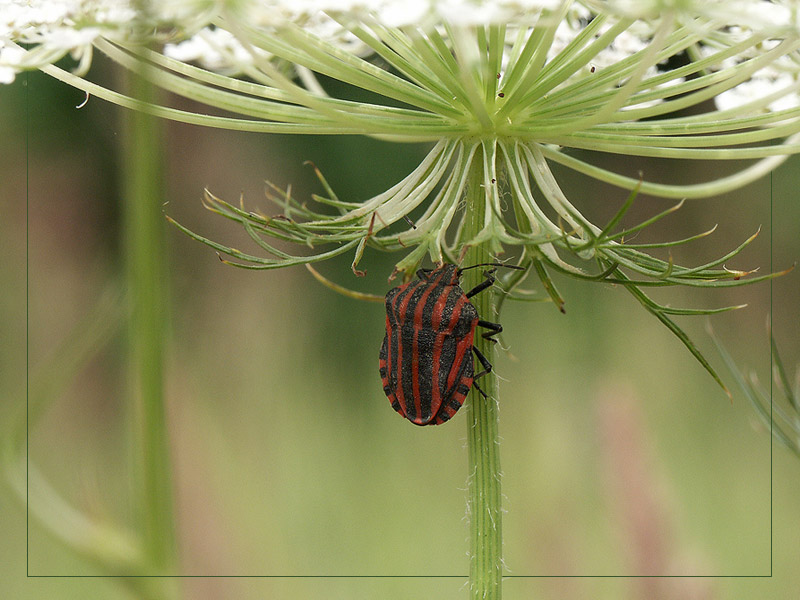 Graphosoma italicum - Badehosenwanze