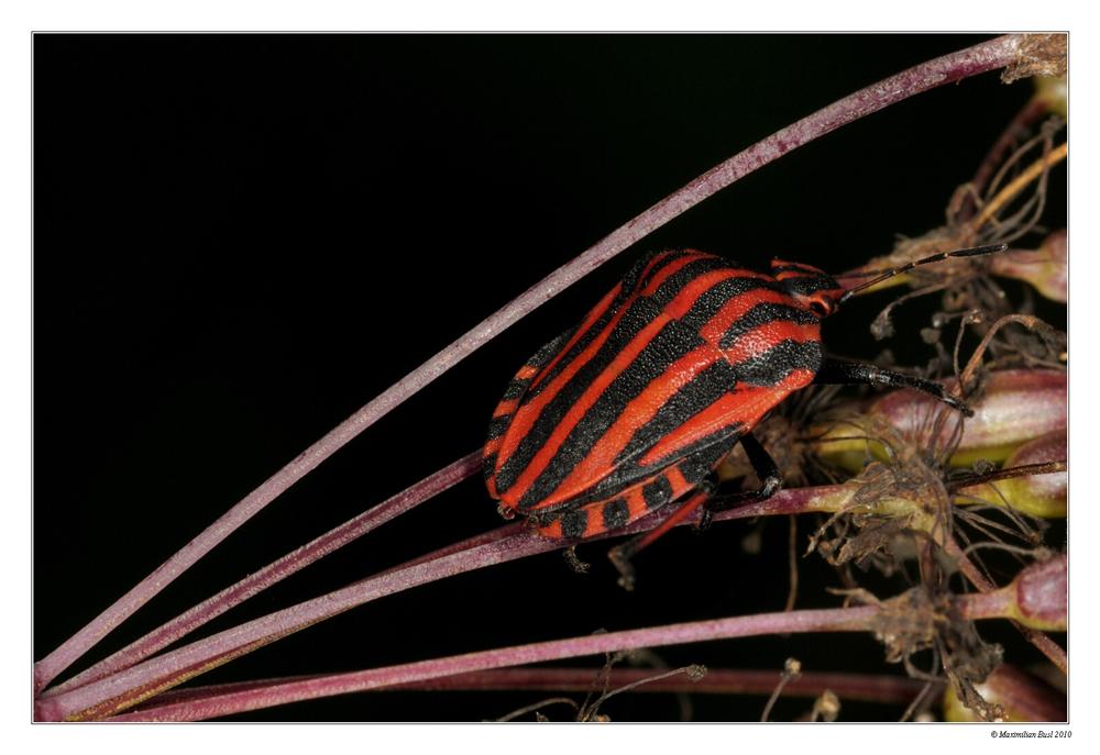 Graphosoma lineatum :-)