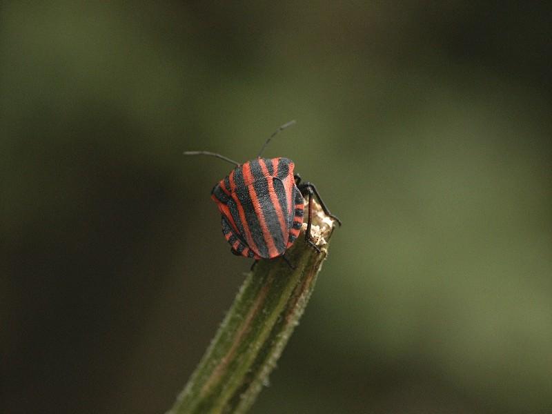 "Graphosoma lineatum ""Streifenwanze"""