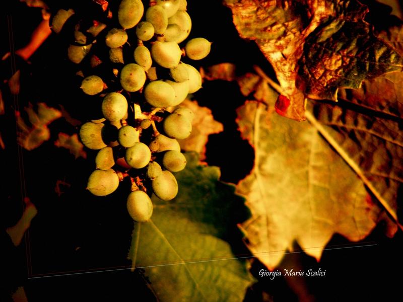 Grappolo d'uva (Estate)
